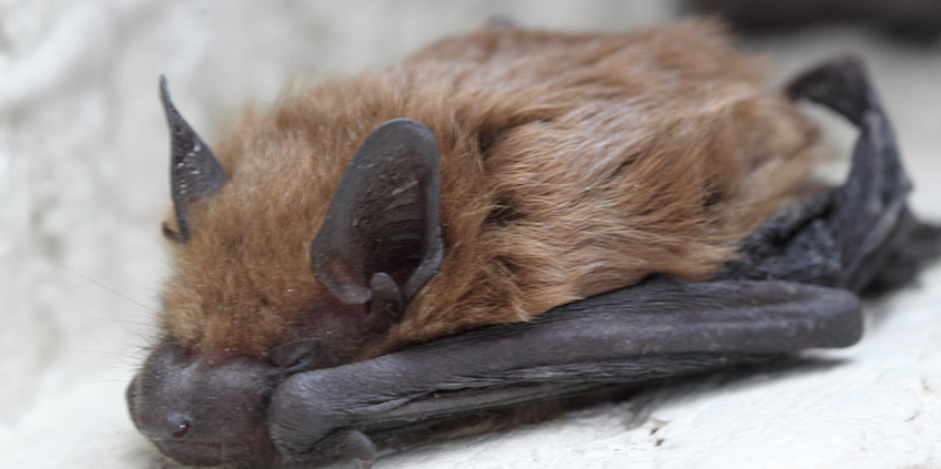 Bat Removal Dallas Fort Worth Bat Removal Services In Dfw