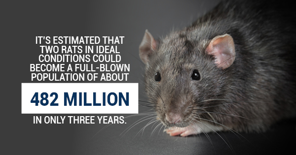 Rat Infestation In Your Home Signs You Need Pro Help